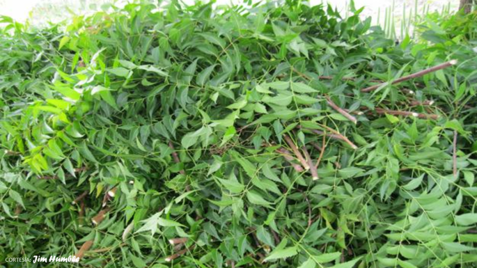 neem-cortesia-nursery-plants