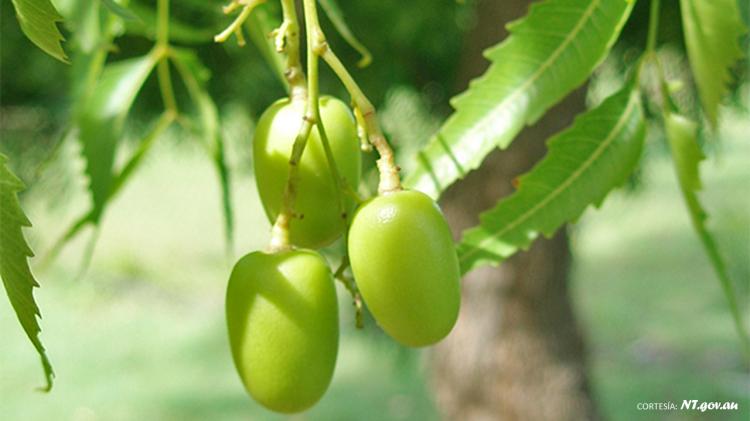 neem-frutos-cortesia-nt-gov-au