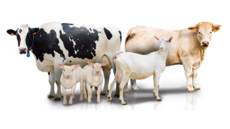 rumiantes-eficientes-vacunos-y-ovinocaprinos