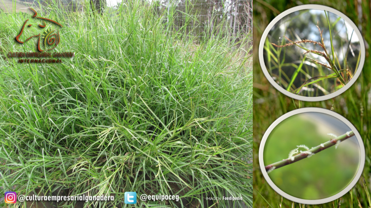 Limpograss (Encabezado)